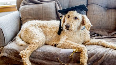 Poodle in graduation cap (mortarboard) with diploma