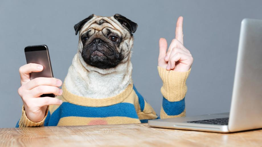 pug dog with human hands using a smartphone and laptop